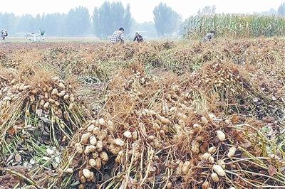 积极引导群众优化农业产业结构,大面积推广种植花生,并邀请鲁花集团中
